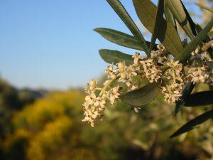 fleurs oliviers genet
