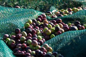 olives noires (1)